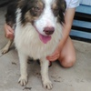 3 Border Collie Male Pups Fully vet checked  9 Months old