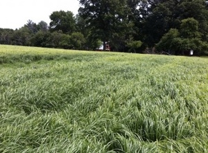 Teff Grass Hay is becoming popular - What is it?