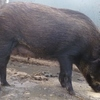 Miniature Pig Breeding stock for sale due to Drought