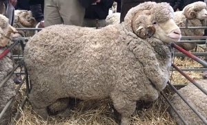 Merino and Dorper - Bendigo Ram Sale result