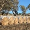Barley Straw Rolls Last Seasons  x  200.