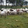 Dorper/Damara 1 year old ewes