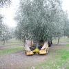 OCCA Olive harvester for sale