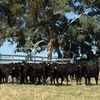 Agistment for  up to 150 Angus PTIC Heifers for period Sep - Dec 2017