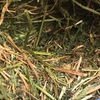 Vetch Hay Rolls For Sale