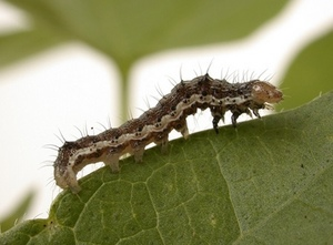 Attacking the mega pests - Bollworm and Earworm