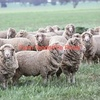 Wanted 5-600 SIL Merino Ewes