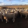 Border Leister Cross Ewes