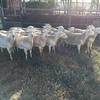 Pure Dorper Ewes - Very even line