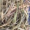 Oaten Hay Round Bales x 55 Rolls & Shedded
