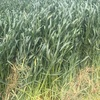 Hay Silage For Sale  - high quality