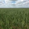 200mt New Season Wheaten Hay For Sale in 8x4x3's