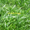 WANTED Annual Rye Grass Seed