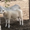 7 x Maiden Aussie White Ewes with Ram