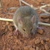 Mouse threat for South East Grain Growers