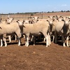 110 crossbred ewes may 2017 drop