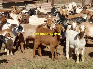 WANTED 2 Goats as pets / lawn mowers for our 3 acres