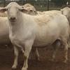 White Dorper Rams