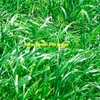 Wimmera Annual Ryegrass Seed x 1,000 KG's