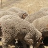 Merino Rams CAWDOR Blood