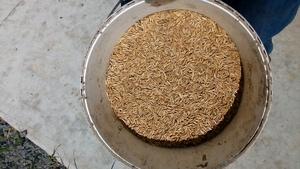 Graded Lampton Oat seed
