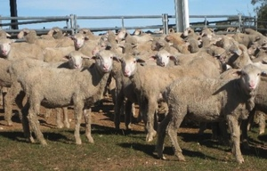Mecardo Analysis - Lighter Merino wethers looking profitable – if you've got feed