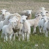 10,000-15,000 Dorper Store Lambs wanted for December-January period