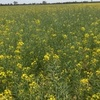 Failed Crop Canola Hay For Sale and or Contractor share agreement