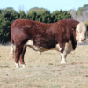 Poll Hereford registered stud bull