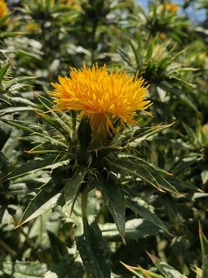 Graded Safflower Seed for Sale
