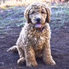 Labradoodles Puppies - top temperaments and health