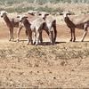 570 Head WS MERINO X & MERINO Lambs For Sale As 1 Line