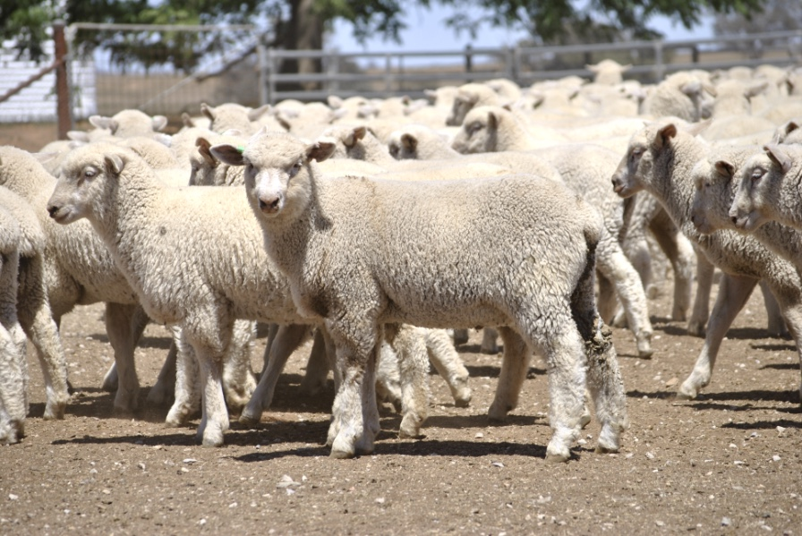 Livestock - Sheep - Lambs For Sale