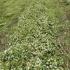 95% Balansia Clover Hay  8x4x3-70 x 625 KG Approx Bales.