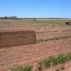 250m/t Vetch Hay 8x4x3 630-750kg approx. Bales ex farm