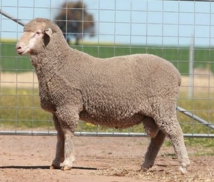 Moojepin Multi Purpose Merino's to $8500 top