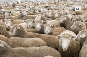 Very strong Lamb market at Ballarat