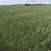 APH2 wheat