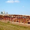 Feedlot Stock Hand
