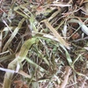 Rye Clover small squares bales