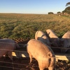 Free Range sows for sale