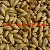 Forage Barley Seed