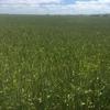 Beardless Wheaten Hay 8x4x3   200 m/t x 650 KG Approx Bales New Season.