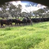 61 Angus Cows with calves at foot.