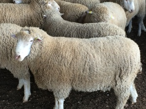 Poll Dorset Rams for sale 26 of