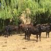 wagyu heifers PTIC
