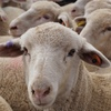 Mecardo Analysis - Offshore mutton demand underpins prices despite high supply
