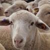 Mecardo Analysis - Offshore mutton demand underpins prices despite high supply