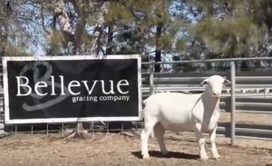 Bellevue Dorper's total clearance of 144 Rams