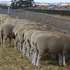 Mecardo Analysis - Lambs at 1000 no longer a fantasy